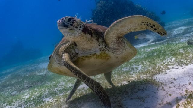 The green sea turtle starts life as a tiny hatchling on a beach. If it survives, it can grow up to 5 feet long and help keep seagrass beds and coral reefs healthy. Photo credit: iStock/Jao Cuyos.